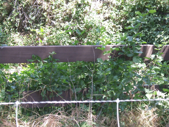 Poison Oak Fence